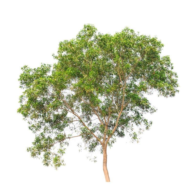 Дерево auriculiformis акации изолированное на белизне стоковые фотографии rf