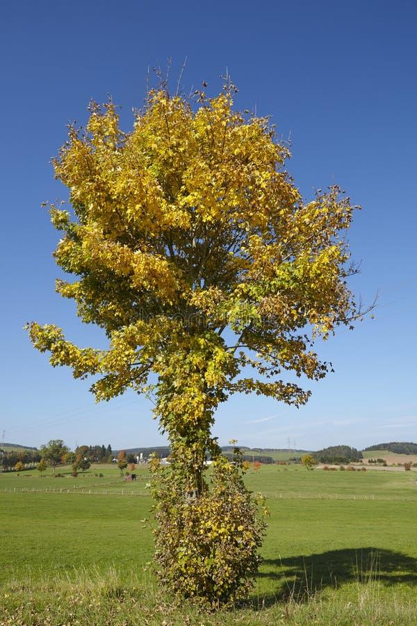 Дерево Autumnally с листьями зеленого цвета и желтого цвета стоковое изображение