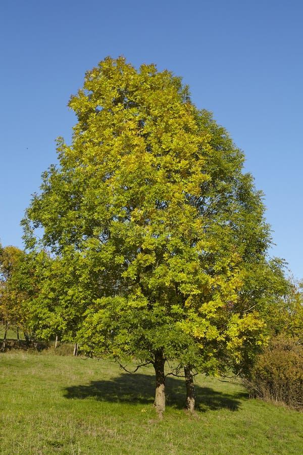 Дерево Autumnally с листьями зеленого цвета и желтого цвета стоковое изображение rf