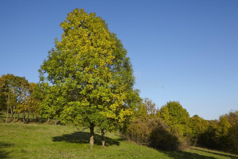 Дерево Autumnally с листьями зеленого цвета и желтого цвета стоковые фотографии rf