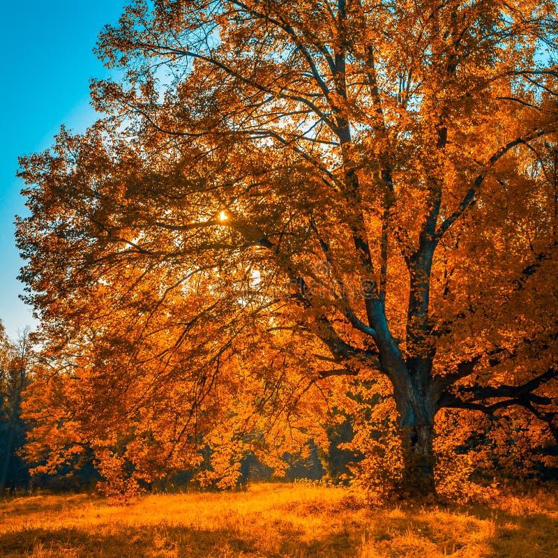 Дерево Autunm в парке, улучшает пейзаж падения стоковое изображение