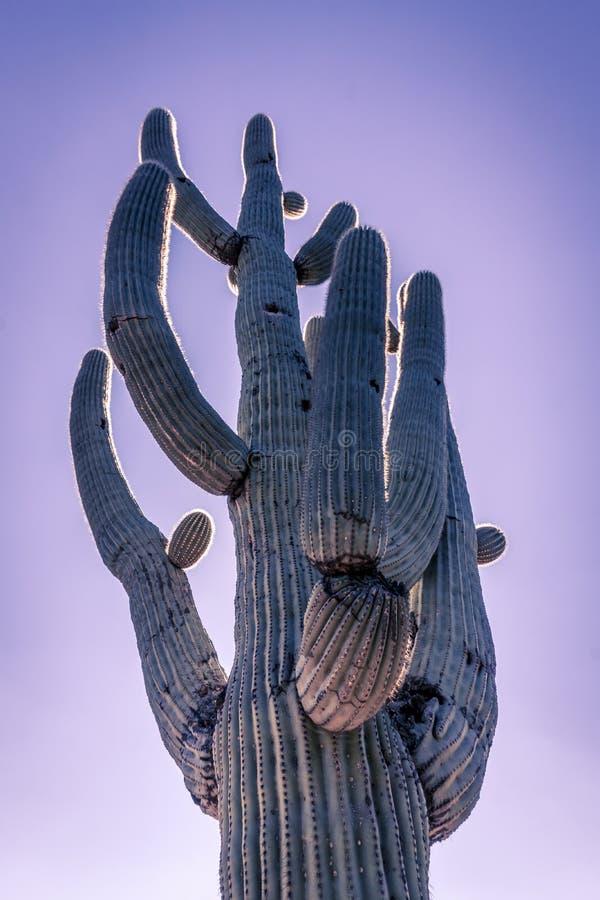 Дерево b кактуса Saguaro пустыни Аризоны стоковое изображение rf
