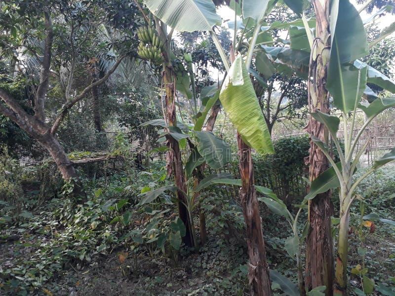 дерево banna стоковые изображения rf
