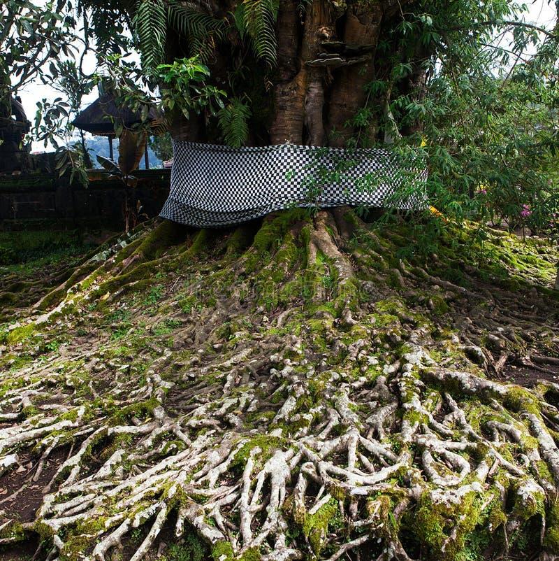 Дерево Centenarian с большим хоботом и большие корни над землей стоковые изображения rf