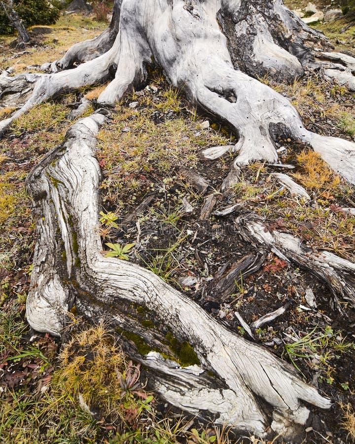 Дерево Centenarian стоковая фотография rf