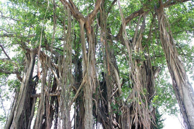 Дерево Centenarian стоковое изображение rf