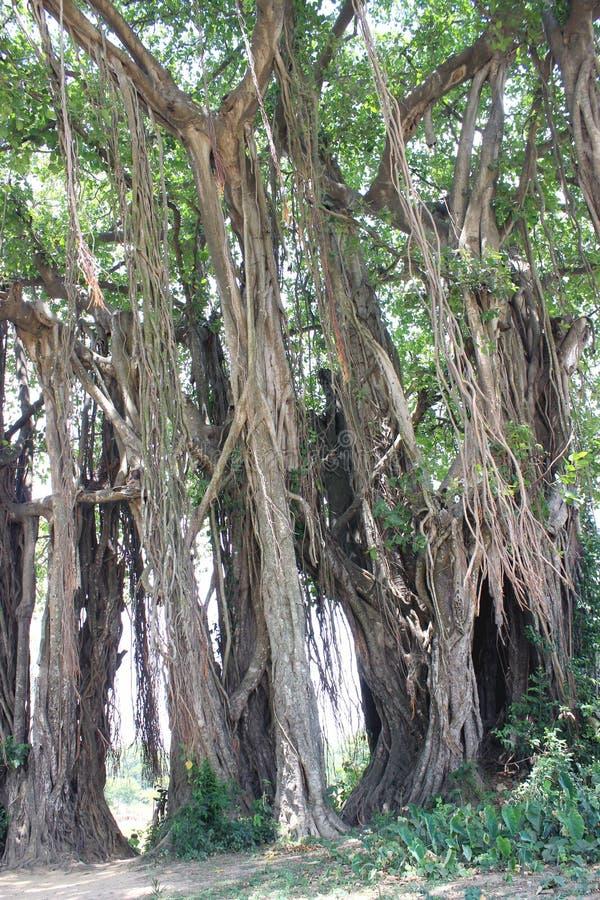 Дерево Centenarian стоковые изображения rf