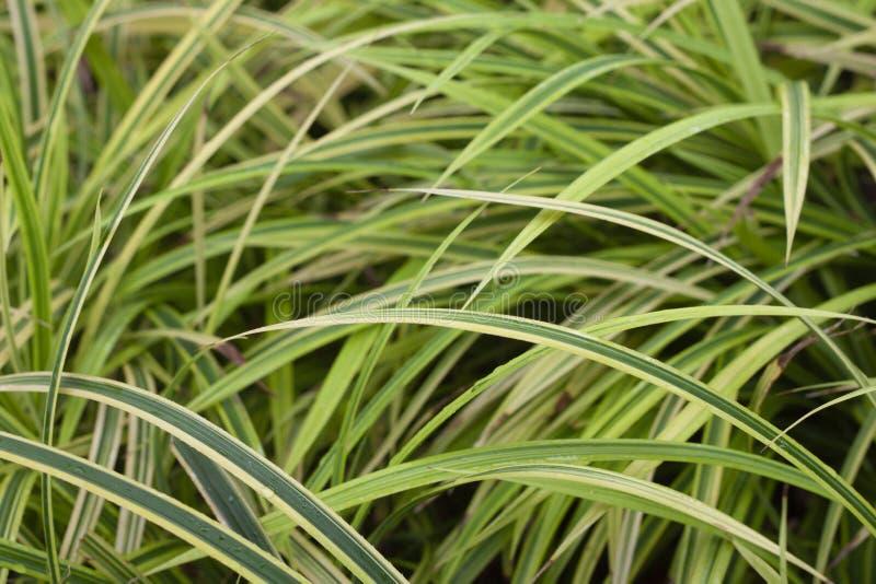 Дерево comosum Chlorophytum стоковые изображения rf