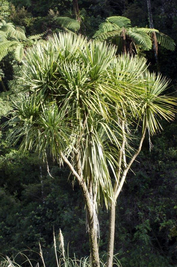 Дерево Cordyline australis стоковая фотография