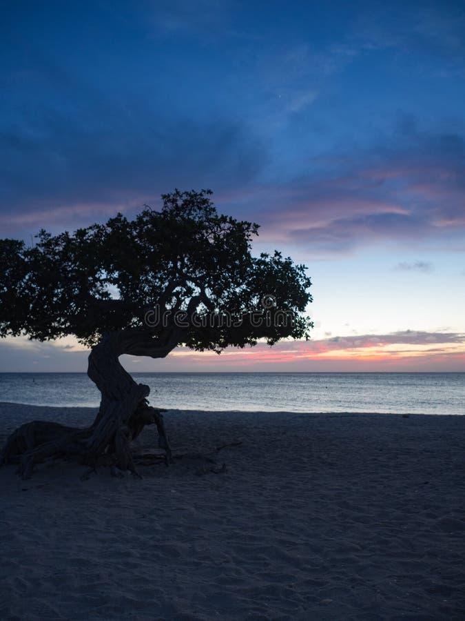 Дерево Divi на пляже Аруба орла на заходе солнца стоковые фото