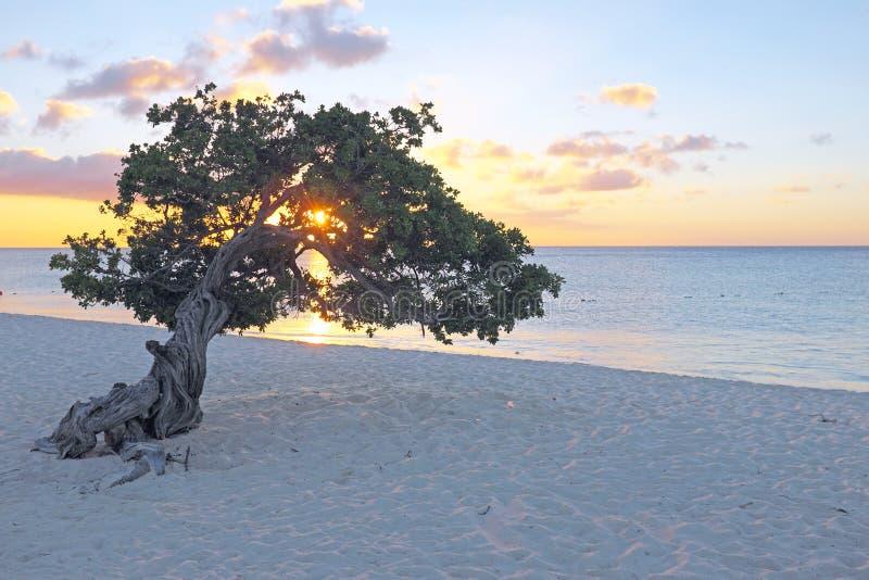 Дерево divi Divi на острове Аруба в Вест-Инди стоковое изображение