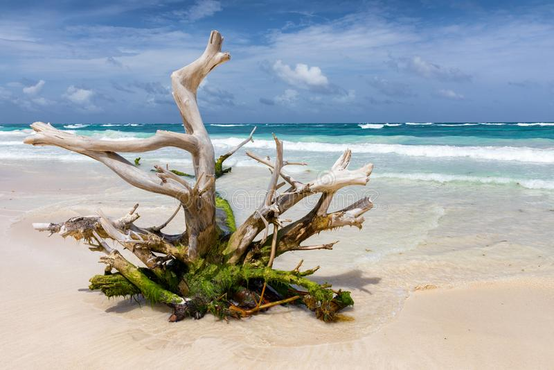 Дерево Driftwood на карибском пляже около Tulum стоковая фотография