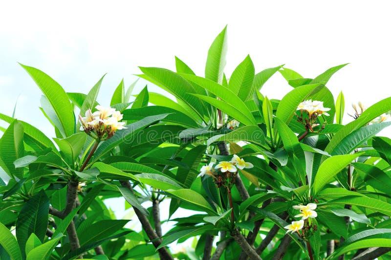 Дерево Frangipani с цветками стоковые фотографии rf