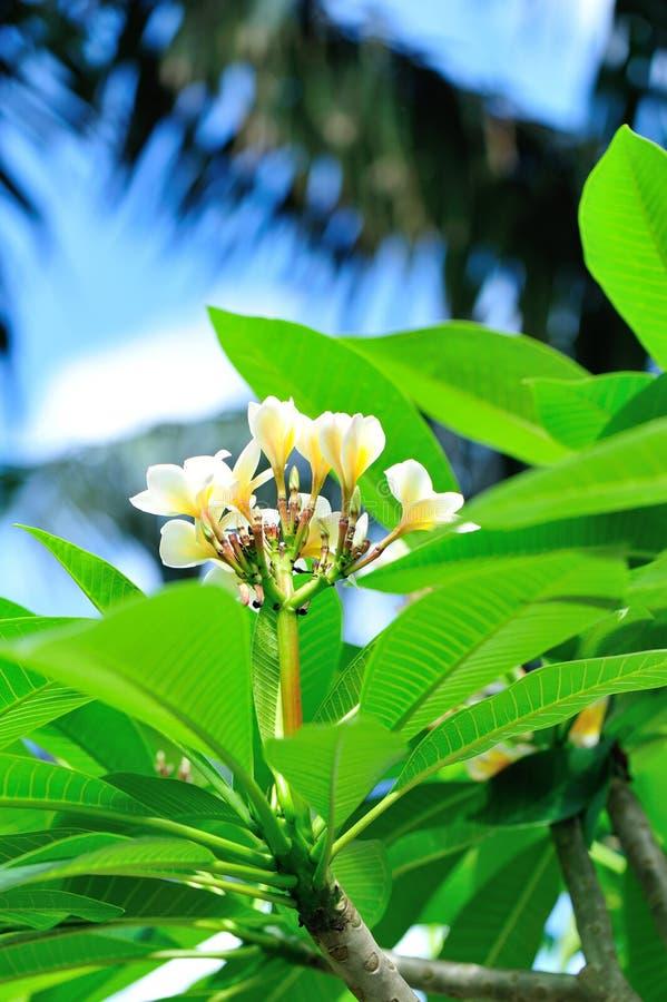 Дерево Frangipani с цветками стоковое изображение