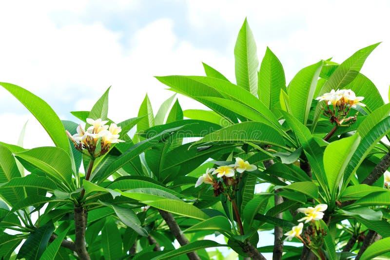 Дерево Frangipani с цветками стоковое изображение rf