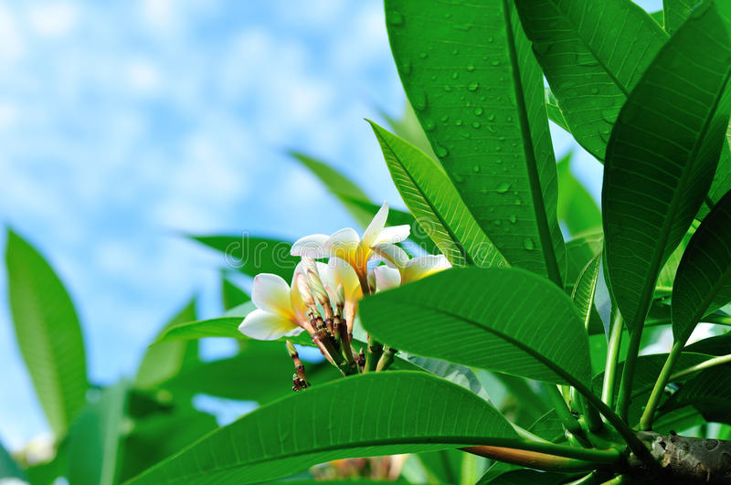 Дерево Frangipani с цветками стоковые изображения rf