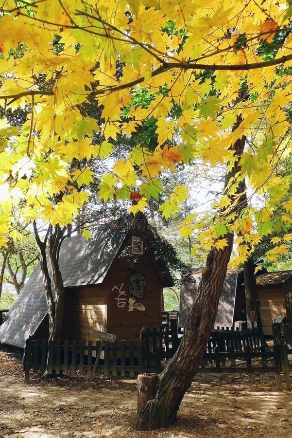 Дерево Ginko на острове Nami стоковые изображения