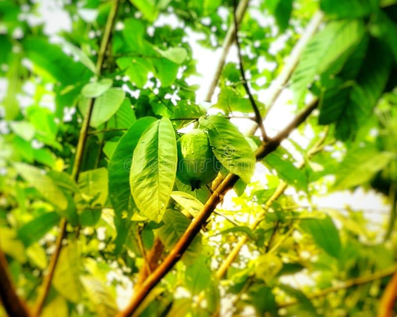 Дерево Guava стоковое изображение rf