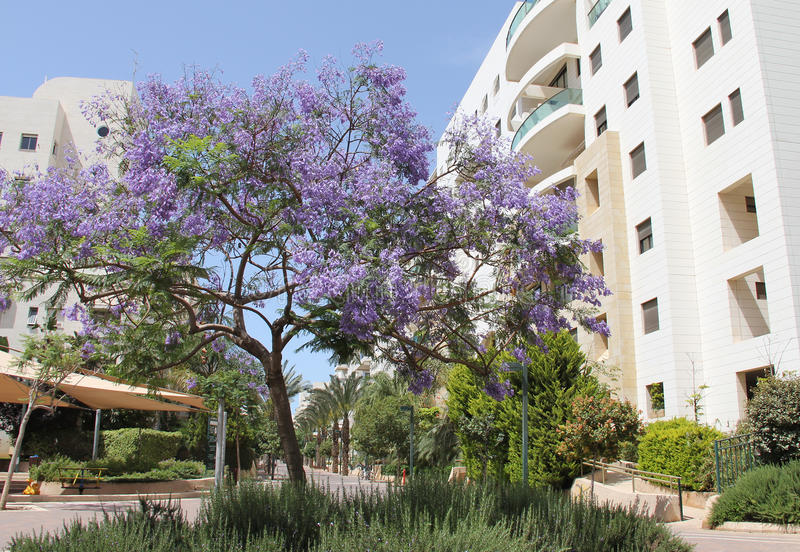 Дерево Jacaranda стоковое фото rf