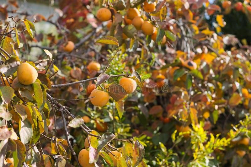 Дерево Kaki с оранжевыми плодами хурмы стоковое фото
