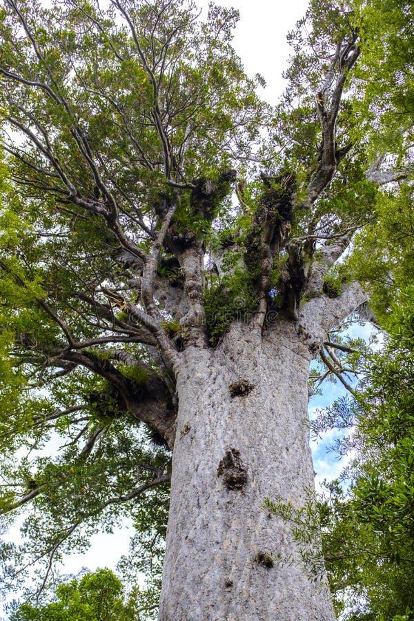 Дерево Kauri в лесе в Новой Зеландии стоковое фото