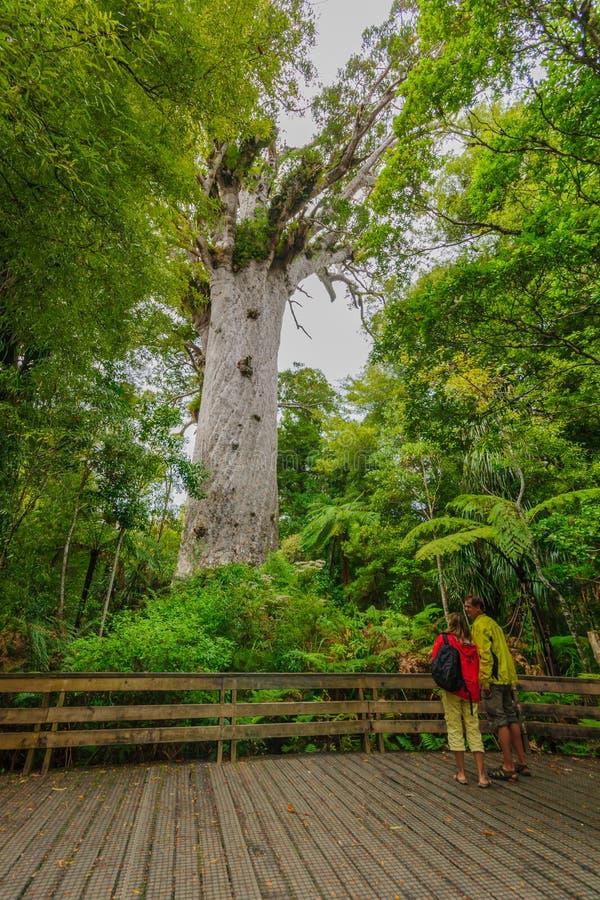 Дерево Kauri в лесе Waipoua стоковое изображение rf