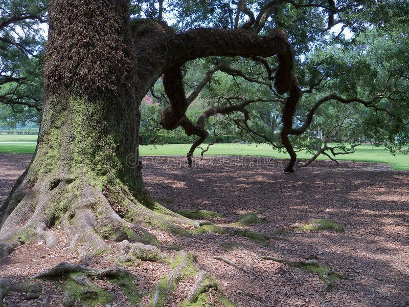 Дерево Knarly стоковые фото