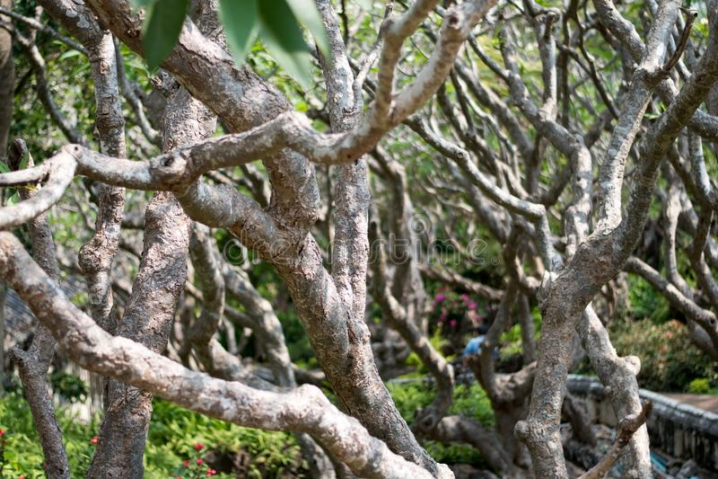 Дерево Leelawadee стоковые изображения rf
