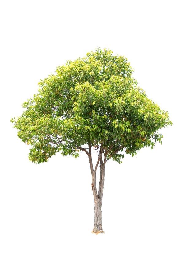 Дерево Linn elengi Mimusops пули Clouseup деревянное изолированное на белой предпосылке стоковые фото