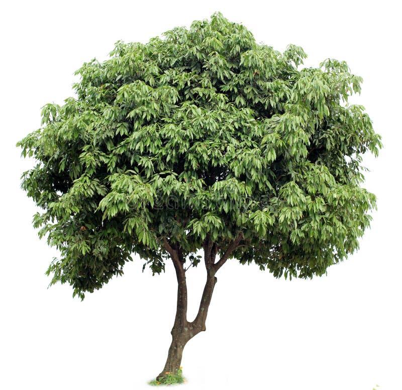Дерево Litchi стоковое фото rf