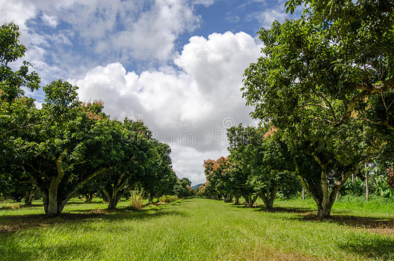 Дерево lychee растется в саде красиво аранжировано стоковые изображения