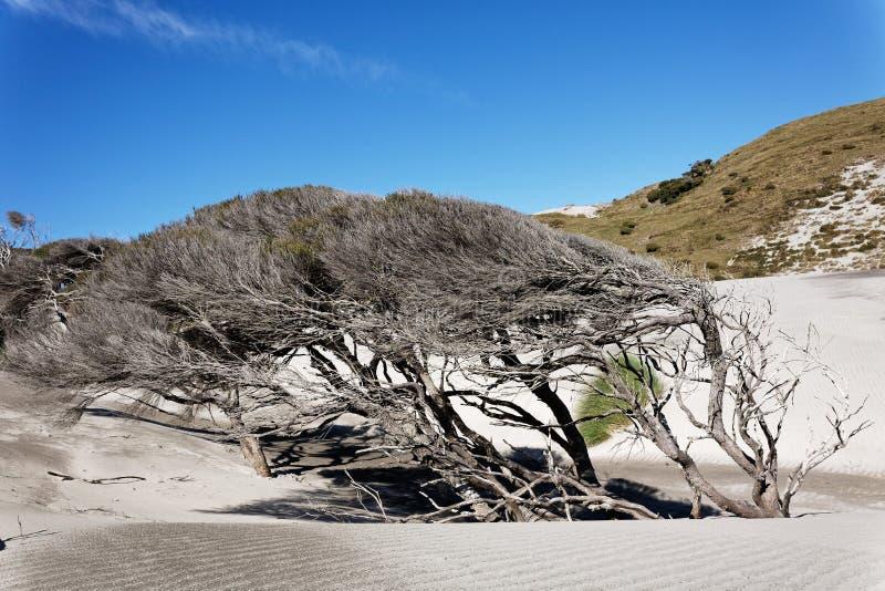 Дерево Manuka, западное побережье Новой Зеландии стоковые фотографии rf
