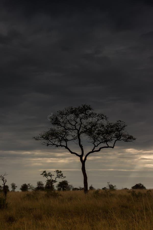 Дерево Marula на саванне стоковая фотография rf