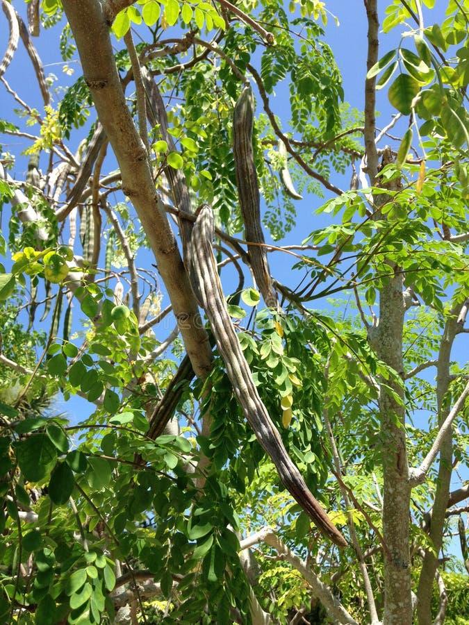 Дерево Moringa Oleifera (Drumstick) с висеть Seedpods растя в ярком солнечном свете стоковое фото