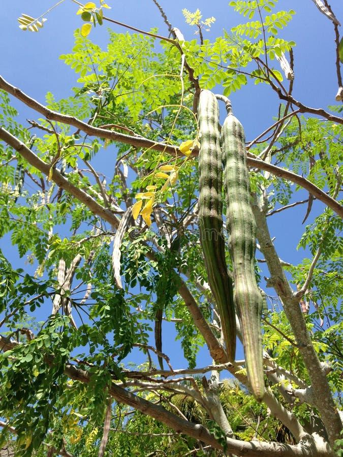 Дерево Moringa Oleifera (Drumstick) с висеть Seedpods растя в ярком солнечном свете стоковое фото rf