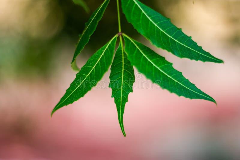 Дерево Neem или лист Azadirachta indica с запачканной предпосылкой стоковые изображения