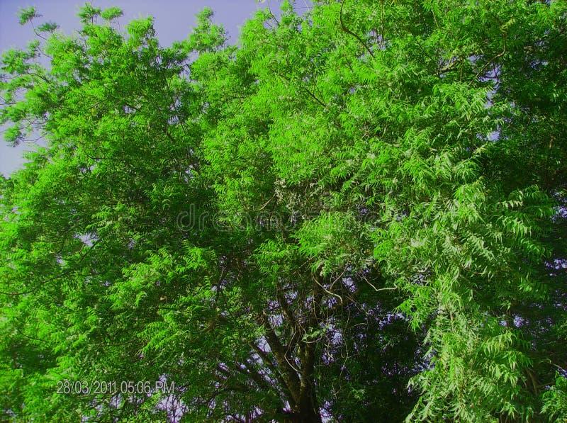 Дерево Neem стоковая фотография