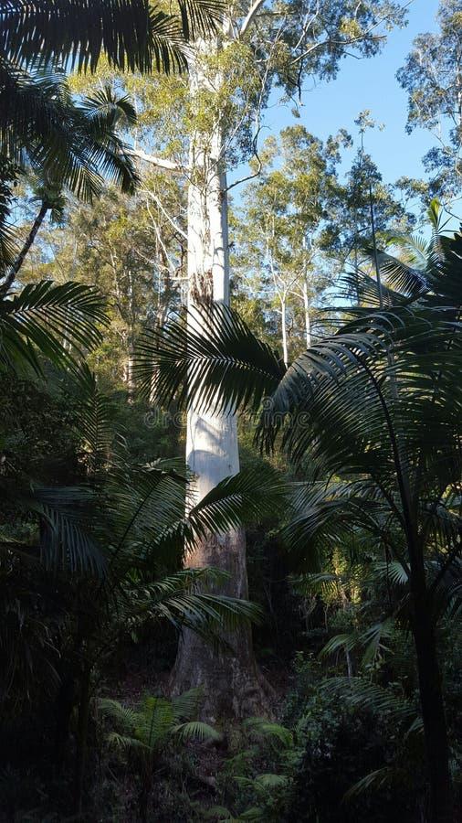 Дерево Nsw самое высокорослое стоковые изображения