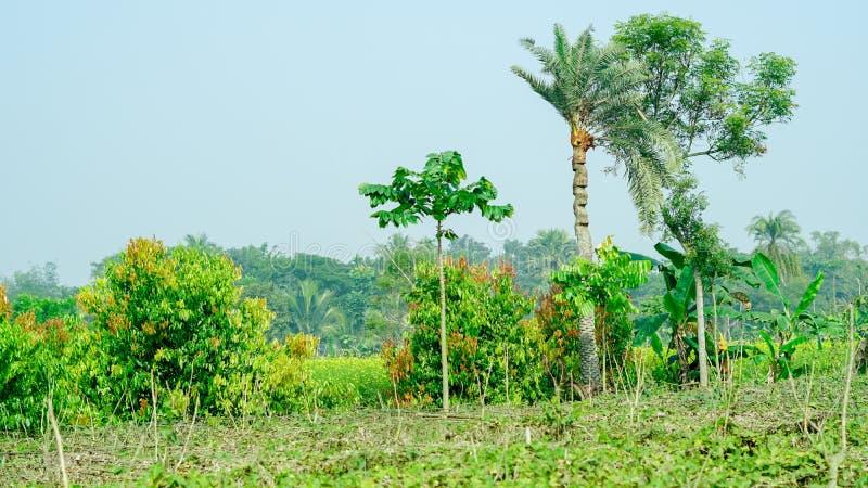 дерево plam даты и дерево lamdu здесь в засаживая области в Индии стоковые изображения