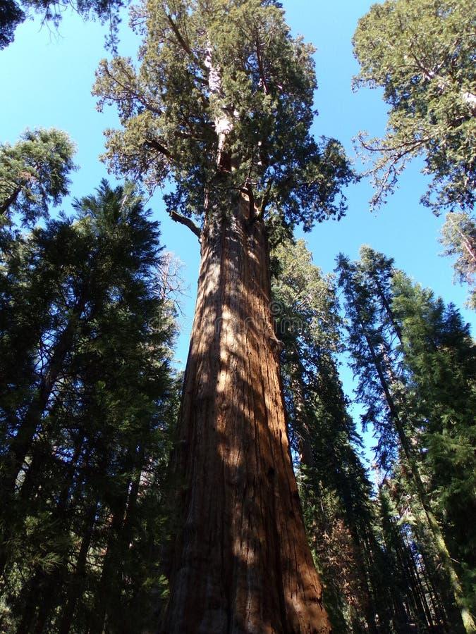 Дерево Redwood, лес Giants, национальный парк секвойи, Калифорния стоковая фотография rf