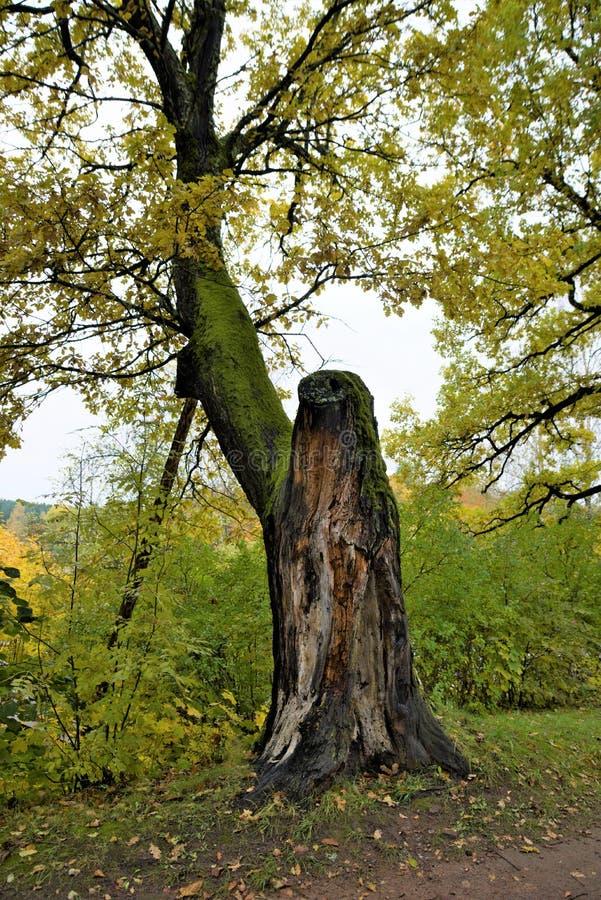 Дерево rogdestveno природного парка старое стоковое изображение