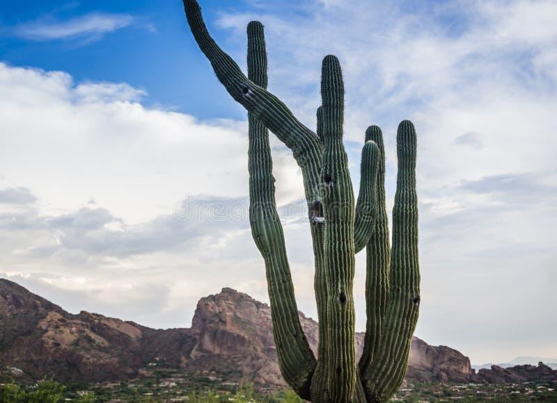 Дерево Saguaro с горой Camelback стоковая фотография rf