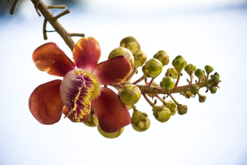 Дерево Shorea robusta стоковая фотография