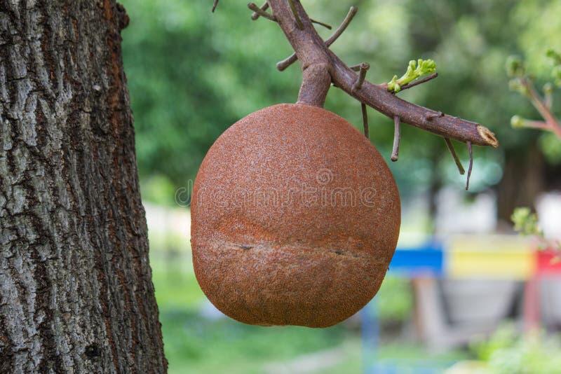 Дерево Shorea robusta стоковые изображения rf