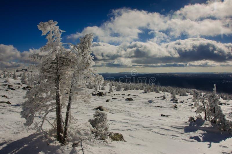 Дерево Snowy в горах стоковая фотография