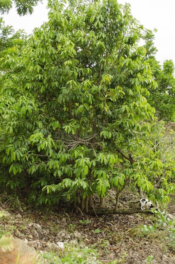 Дерево Soursop Frouit стоковая фотография