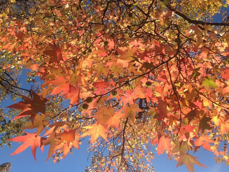 Дерево Styraciflua Liquidambar с красочными листьями и семенами осенью стоковая фотография