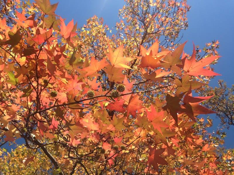 Дерево Styraciflua Liquidambar с красочными листьями и семенами осенью стоковое фото rf