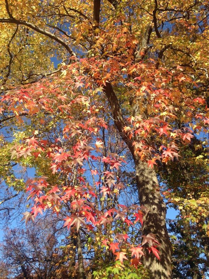 Дерево Styraciflua Liquidambar с красочными листьями и семенами осенью стоковое фото