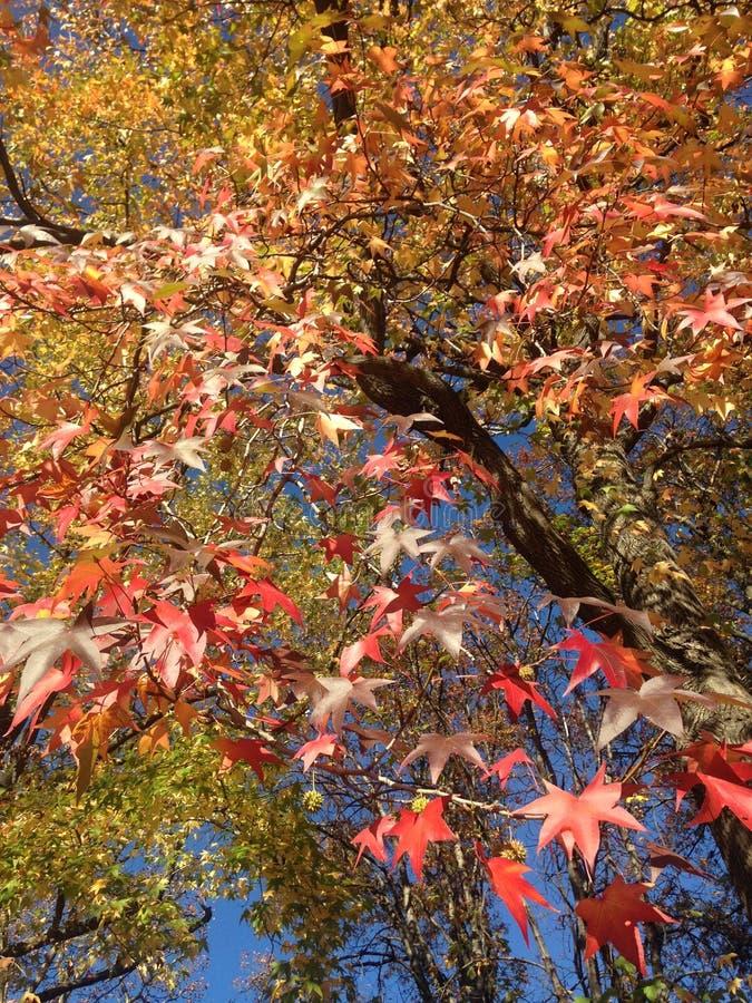 Дерево Styraciflua Liquidambar с красочными листьями и семенами осенью стоковые изображения